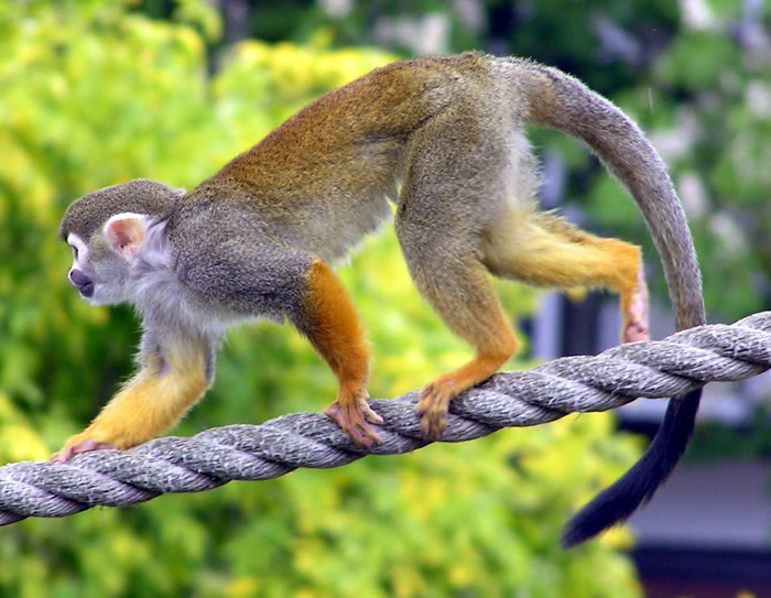 Squirrel Monkey Hybrids
