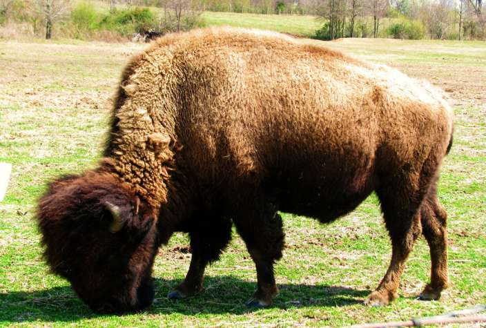 Beefalo - Buffalo Domestic Cow Hybrid