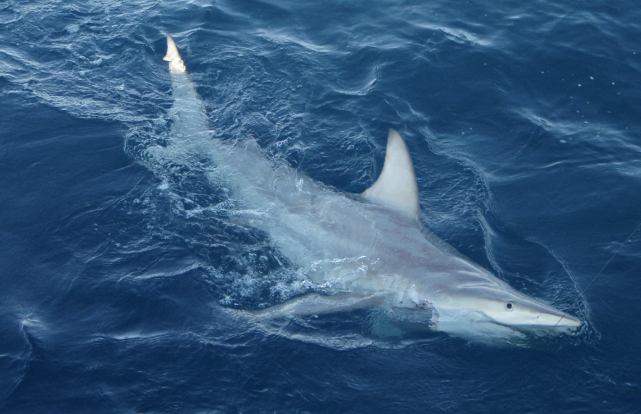 Blacktip Shark Hybrid