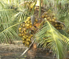 Coconut Palm Hybrid