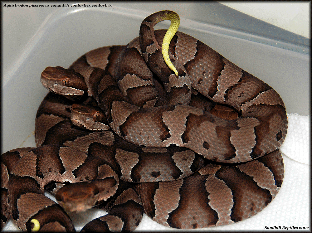Copperhead Cottonmouth Hybrid