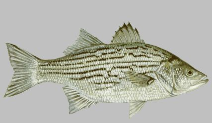 Whiper - White Bass Striper Hybrid